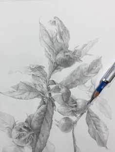 What a great botanical drawing. By Elaine Searle. Botanical Drawings, Moleskine, Graphite, Abstract, Artwork, Painting, Botany, Graffiti, Summary