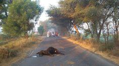 Hello Sirsa: सडक पर मिलीं मृत गायें, गौभक्तों में रोष Country Roads