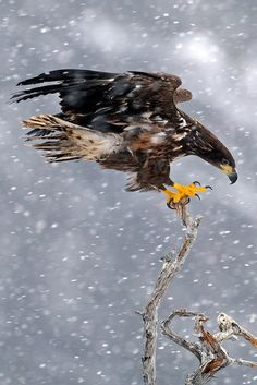 Balance Act || by Harry Eggens - juvenile white tailed eagle - near Faltanger, Norway