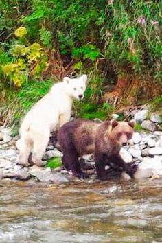 Tourists on a rafting trip in eastern Russia recently encountered a mother brown bear with two cubs, but what made the sighting extraordinary was that one of the cubs was pure white (not albino). The bears were foraging on the bank of the Bustraya River, on the Kamchatka Peninsula, when the tourists drifted past the animals.