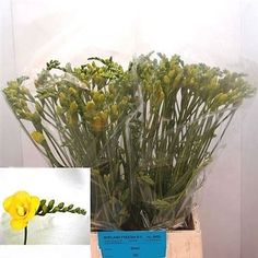 Freesia Double Soleil (length 50 cm) is a popular wedding flower and is great for flower arrangements! Find out more info by visiting our website www.trianglenursery.co.uk at brilliant wholesale prices!