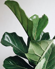 Beautiful close up of the Fiddle Leaf Fig's elegant leaves by We love the sculptured look these leaves have . House Plants Decor, Plant Decor, Ficus, Fig Leaves, Plant Leaves, Fiddle Leaf Fig Tree, Fiddle Fig, Cactus Plante, Greenhouse Plants
