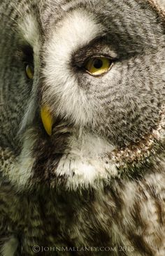 Great Grey Owl // Chouette lapone -