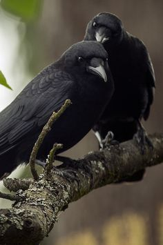 Blackbird singing in the dead of night. Love Birds, Beautiful Birds, Animals Beautiful, Cute Animals, Small Birds, Corvo Tattoo, Black Bird Fly, The Crow, Blackbird Singing