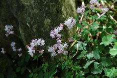 Find Dwarf Korean Meadow Rue (Thalictrum kiusianum) in Toronto Etobicoke Mississauga Vaughan Brampton Ontario ON at Plant World (Kyushu Meadow Rue) Outdoor Pots, Low Maintenance Plants, Herbaceous Perennials, Types Of Soil, Container Plants, Growing Plants, Flower Photos, Purple Flowers, Landscape