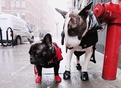 Neville Jacobs, Marc Jacobs Bull Terrier and a French Bulldog Friend, trying to take a walk in the NYC Winter Slush.