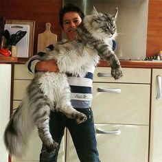 Disse 21 Billeder vil vise dig den Bemærkelsesværdig størrelse Maine Coon katte