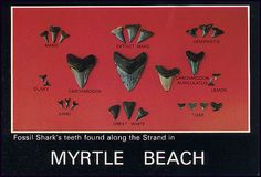 I found teeth just like some of these during my trip to Myrtle Beach..Loved looking for shark's teeth, want to go back to find some more! -N