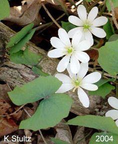 Twinleaf Scientific Name:  Jeffersonia diphylla L. Pers.