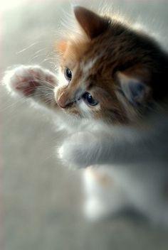 Lovely-KittyCats, bulldawg12: Cat attack!