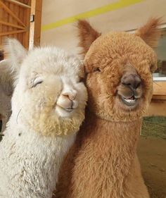 Alpaca Love - Tag your best friend! Those who are no even family but they stick to you no matter what! Cute Little Animals, Cute Funny Animals, Cute Dogs, Cute Babies, Baby Animals Pictures, Cute Animal Pictures, Alpacas, Happy Animals, Animals And Pets