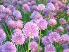 Bieslook - Allium schoenosrasum