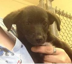 Please help save this sweet puppy from dying a horribly painful death!! URGENT- TRUMP IS IN A GASSING SHELTER IN BECKLEY WEST VIRGINIA. PLEASE EMAIL DOGHOUSE100@COMCAST.NET FOR DOGGY DETAILS AND APPLICATION.TRANSPORT IS AVAILABLE FOR ALL APPROVED OUT OF STATE ADOPTIONS. THIS SHELTER WILL EUTHANIZE FOR SPACE. PLEASE...