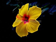 Hibiscus photograph yellow red tropical flower Instant download photo colorful blossom nature photography art beautiful bloom vivid colors