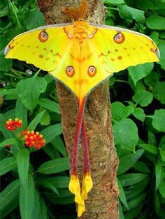 One of the most beautiful moths in the world, the Comet moth or Madagascan Moon Moth, is named after its long red 'tails'. There are a number of moon moths with tails varying in length from mere stubs to long streamers. Biologists now think that those with the longest tails such as this species have evolved more recently than those with shorter tails. The Comet Moth is still fairly common in its native Madagascar.