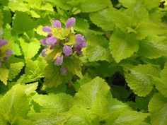 in 9cm pot FREE DELIVERY over £20 dead nettle Lamium maculatum White Nancy