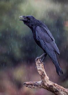 raven by Fernando Sanchez de Castro / Raven Bird, Crow Bird, Crow Or Raven, Raven Wings, Raven Pictures, Animal Pictures, Choucas Des Tours, Fernando Sanchez, Jackdaw