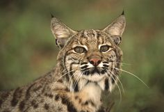 URGENT: Speak Out Against Proposed Bobcat Fur Farm! | Action Alerts | Actions | PETA