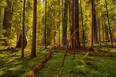 Hushed Silence - California Redwoods I Photograph by Dan Carmichael