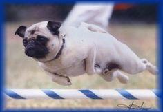 Agility Pug! Suki Jumps