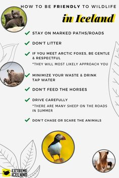 If you're planning a trip to Iceland, you can expect to meet some Icelandic animals! They are adorable and usually harmless. Please respect the Icelandic nature & wildlife! Here are some tips on responsible travel in Iceland. Tours In Iceland, Iceland Travel Tips, Responsible Travel, Cultural Events, Adventure Tours, Tour Operator, Vacation Packages, Travel Agency, Respect