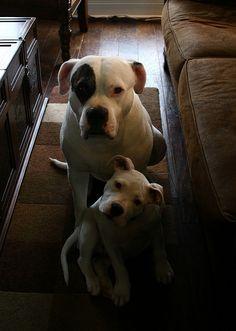 American Bulldog... Looks a lot like Daisy!