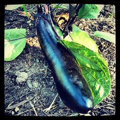 First eggplant, Sparrow variety, and it's not even July.  Minnesota miracle season! Photo by tammykimbler • Instagram