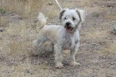 Nala is an adoptable Terrier Dog in Park City, UT. Nala is a cute Terrier mix that is equal parts loving and playful. She is about 2 years old, and is looking for a great home. She loves her belly scr...