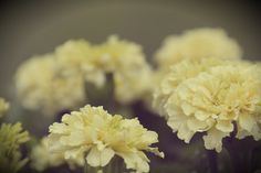 marigolds | Flickr - Photo Sharing!@Wendy Werley-Williams.sailersgreenhouse.com