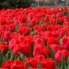 - The Weather Network Weather Network, Red Tulips, Photo And Video, Rose, Spring, Beautiful, Pink, Roses, Pink Roses