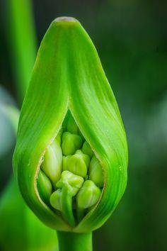 #flora #lovenature #lilyofthenile #gardensbythebay