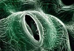 「気孔」の画像検索結果