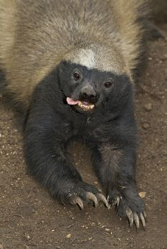 Honey-badger, Mellivora capensis. This species of mustelid has a reputation as a fearless predator. Prey includes venomous snakes.