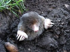 A step-by-step guide from top pest control expert on How to Trap a Mole in the Yard. The most effective and easiest way to trap garden moles. Mole Repellent, Mole Day, Taupe, Earthworms, Homestead Survival, Plantation, Animals Of The World, Rodents, Mole