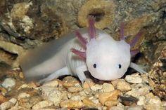 L'axolotl, une salamandre en danger critique d'extinction