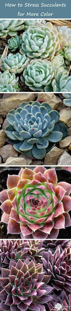 Stressing Succulents - How to stress succulents for more color safely and without harming the plants! Pin now, read later.