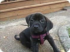 ST LOUIS, MO - Labrador Retriever/Boxer Mix. Meet Ayla, a puppy for adoption. http://www.adoptapet.com/pet/16193186-st-louis-missouri-labrador-retriever-mix