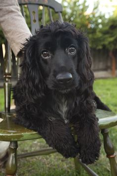"Get excellent recommendations on ""English cocker spaniel"". They are actually readily available for you on our site. Black Cocker Spaniel Puppies, English Cocker Spaniel, Spaniel Breeds, Dog Breeds, Cute Dogs And Puppies, Pet Dogs, Chihuahua Dogs, Field Spaniel, Cockerspaniel"