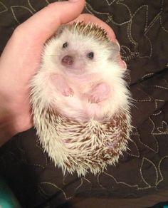 Hedgehog - I swear he looks like he's smiling!
