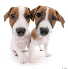 Artlist Collection THE DOG (Jack Russell Terrier) — I Love my Dog!