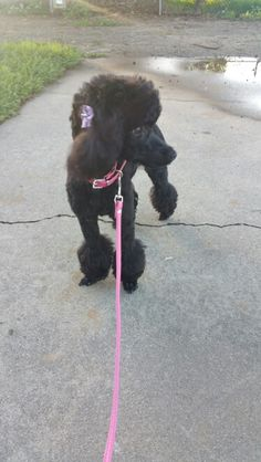 Black Toy poodle Funny Dog Toys, Best Dog Toys, Yorkie Dogs, Dogs And Puppies, Poodle Grooming, Dog Grooming Business, Poodle Mix, Celebrity Travel, Wedding Tattoos