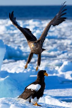 White Tailed Eagle & Steller's Sea Eagle, Hokkaido, Japan.