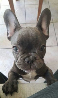French Bulldog Puppy❤️ What you Wish your french bull dog Would Pledge to You  We do not have a doorbell. I will not bark each time I hear one on TV.  I will not play tug-of-war with Dad's underwear while he's on the toilet.  The garbage collector is not stealing our stuff....(I'll let it go...let it go...)  I do not need to suddenly stand straight up while I'm lying under the coffee table.  I will not roll my toys behind the fridge.  I will shake the rainwater out of my coat before entering…