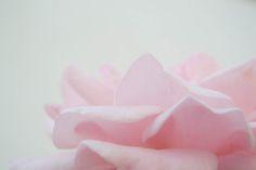 Little rose from our garden. Pink rose breast cancer awareness. Con una rosa queremos aportar nuestro granito de arena, a la concienciación para prevenir el cancer de mama. #súmate #aecc #asociaciónespañolacontraelcancer