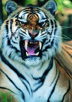 Angry Tiger, My first love are animals and nature because they manifest real… Beautiful Cats, Animals Beautiful, Stunningly Beautiful, Absolutely Stunning, Big Cats, Cool Cats, Lion Tigre, Animals And Pets, Cute Animals