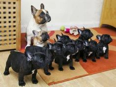 French Bulldog Puppies - A Place to Love Dogs Cute French Bulldog, French Bulldog Puppies, French Bulldogs, Cute Puppies, Cute Dogs, Dogs And Puppies, Funny Dogs, Doggies, Baby Animals