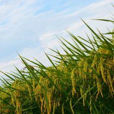 8月19日  お気に入りの田んぼ沿いの道で  稲穂が垂れ下がってました。  撮ってると お腹がすいてきました(笑)  #稲穂  #収穫  #空  #Sky  #カコソラ  #instagood  #ig_japan  #team_jp_東  #D5300  #Nikon  #ダレカニミセタイソラ  #EarOfRice  #写真好きな人と繋がりたい  #田んぼ  #水田  #新米が楽しみ #謙虚でありたい
