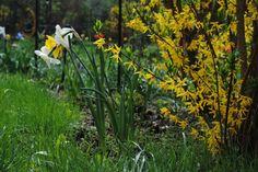 Narzissen kündigen den Frühling an - Freude! Passen auch gut ins Wohnzimmer in eine Vase. #spring #garden #joy