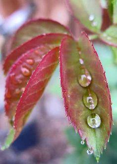 Like little crystal peas in a rose leaf pod