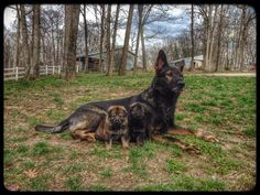 #Havok #GSD and a kid